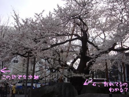 石割桜.jpg